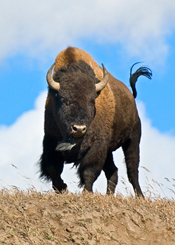 Bison-Yellowstone-175.jpg