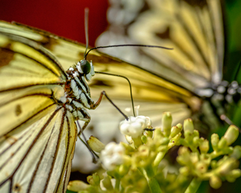 Butterfly_350.jpg