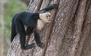 CostaRica_monkey_300.jpg