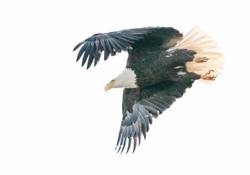 Eagle-flight_250.jpg