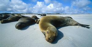 Galapagos_seals_300.jpg