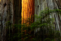 Giant-Redwoods-250.jpg