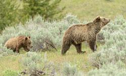 Grand_Teton_bears_250.jpg