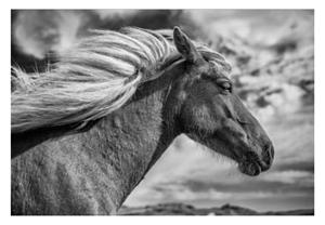 Iceland_Horse_300.jpg
