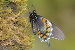 MacroPipevineSwallowtail.jpg