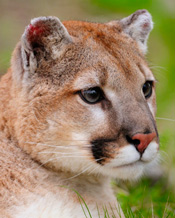 Mountain-Lion_175.jpg