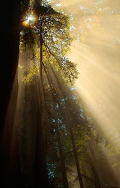 Redwoods_175.jpg