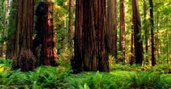 Redwoods_250.jpg
