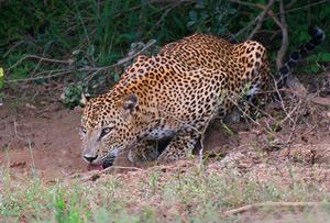 Sri-Lanka-leopard_300.jpg