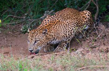 SriLanka_Leopard_350.jpg