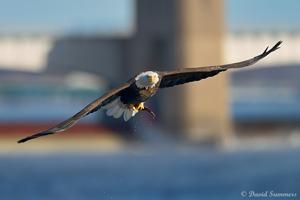 Summers-Eagle_300.jpg