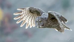 Teton_Spring_Owl_300.jpg