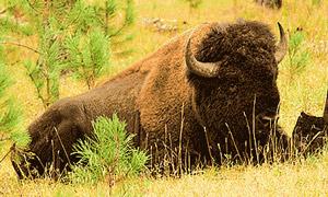 anpat-15_bison_300.jpg