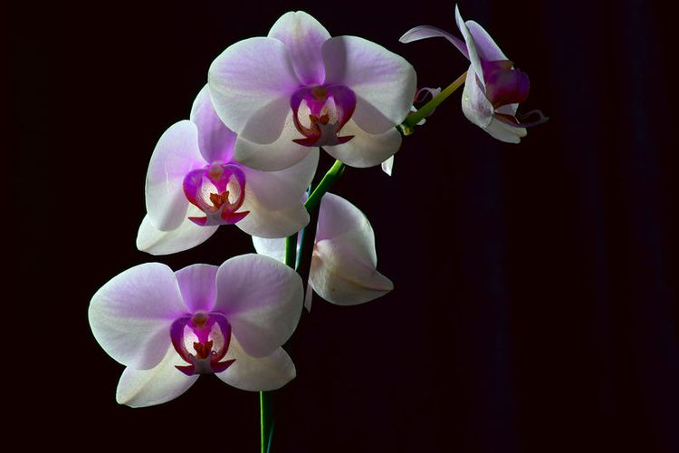 orchid_study_3_1_jcdonelson-org_535394.jpg