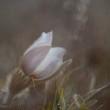 frwe_spring_pasque_flower_110.jpeg
