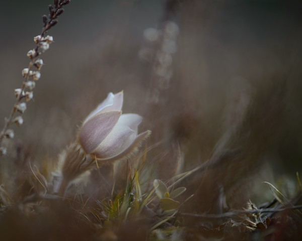 frwe_spring_pasque_flower_600.jpeg