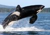 orca-kl.jpg