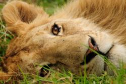 hagen_lion-250.jpg