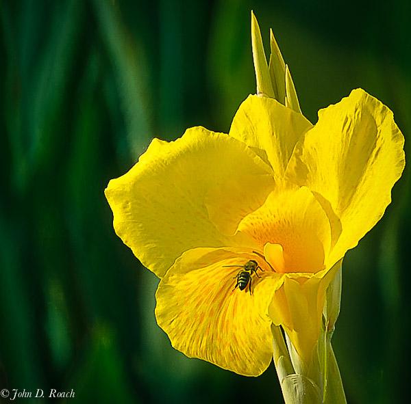 Bee and Gladiola.jpg