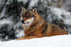 wolf-naturablichter_250.jpg